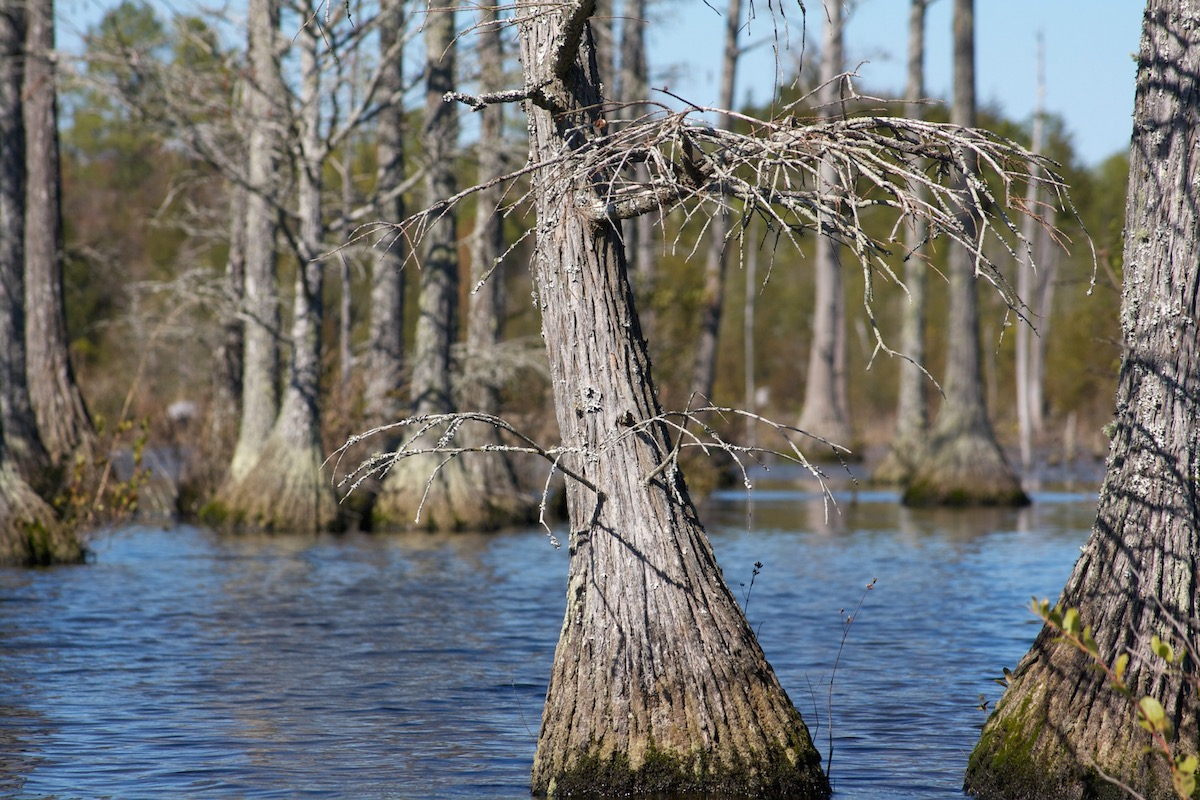 Cypress trees in the mill pond at Goodale State Park
